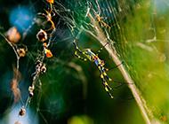 八条腿的蜘蛛高清图片