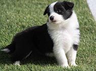 黑白相间的边境牧羊犬幼崽图片