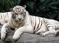 雄壮高大的白色孟加拉虎图片