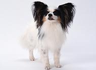 宠物狗蝴蝶犬高清图片壁纸