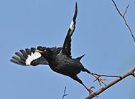 飞翔的泰国八哥鸟图片
