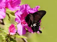 春天杜鹃花丛飞舞的蝴蝶图片大全