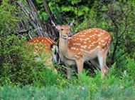 梅花鹿图片唯美森林动物壁纸