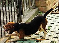 小黑背犬精美图片大全