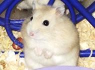 小型宠物白布丁仓鼠图片