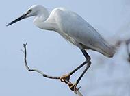 常见鸟类图片枝头栖息的白鹭