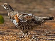 休闲散步的飞龙鸟图片