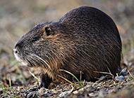 食性广泛的加拿大海狸鼠图片