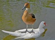 超有大哥风范的的鸭子