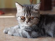 可爱乖巧的渐层银虎斑猫图片