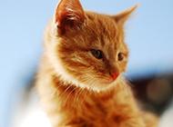 好看的中华田园猫写真图片欣赏