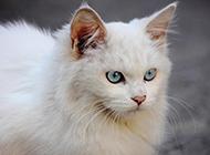 长毛蓝眼白猫气质高贵图片