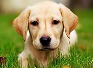 六个月拉布拉多犬唯美壁纸图片