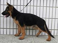 五爪威猛莱州红犬图片