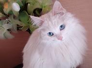 最美蓝眼白猫扮萌超Q图片