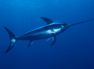 游姿优美的南方淡水旗鱼图片