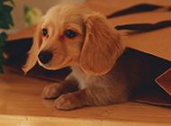 小型腊肠犬调皮淘气图片