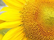 阳光中的向日葵图片特写