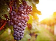 葡萄植物图片素材高清特写