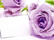 白玫瑰优雅素淡风格图片素材