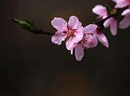 雨后的桃花微距摄影图片