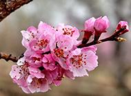 素雅杏花粉色挂满枝头唯美风景壁纸
