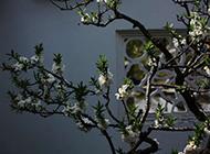 盛放的梅花图片大全