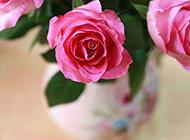 粉色玫瑰高清花卉壁纸赏析