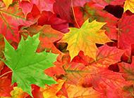 秋天的枫叶图