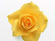 超凡脱俗的黄玫瑰