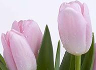 郁金香植物图片壁纸素材精选