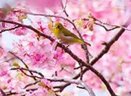 富士山唯美粉色樱花浪漫风景图