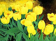 黄色百合花油画图片