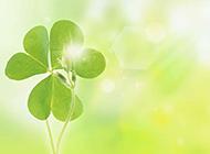 梦幻绿色四叶草植物背景图片