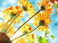 娇姿悦目的非洲菊唯美图片
