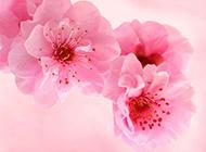 粉色桃花背景图片浪漫动人