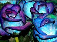 蓝色玫瑰花特写大图欣赏