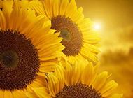 阳光向日葵壁纸灿烂耀眼