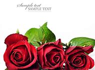 高清带水珠红玫瑰花图片素材