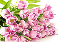 粉色荷兰郁金香图片背景