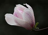 紫玉兰花花瓣水滴图片欣赏