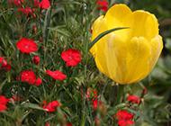 郁金香花图片高清壁纸