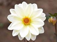 唯美素雅白色大花的植物图片