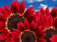 红色向日葵图片素材欣赏