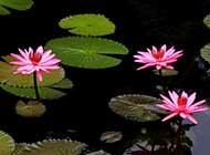 睡莲水生花卉精美图片