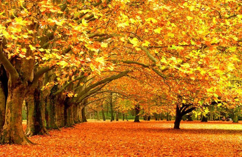 法国梧桐树秋天落叶美景欣赏