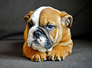 可爱身体矮胖的斗牛犬图片