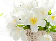 白色鲜花花蓝背景图片