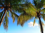 修长挺拔的棕榈树图片欣赏