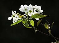 梨花白色背景高清图片